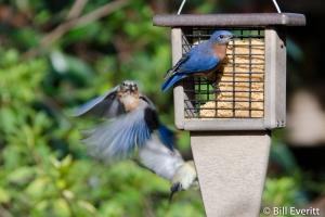 August - Eastern Bluebird