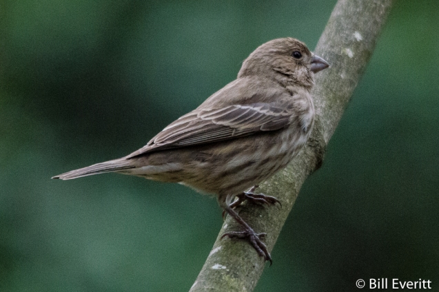 House Finch - female