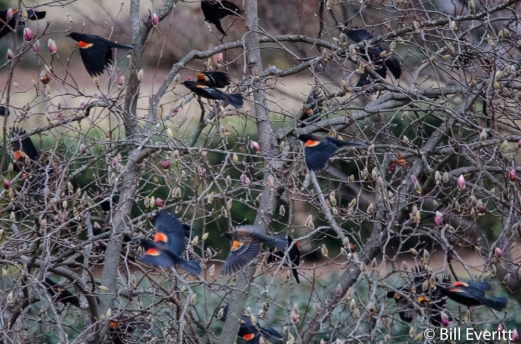 Red-winged Blackbirds