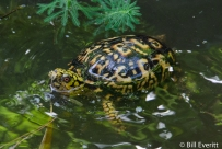 Common Box Turtle