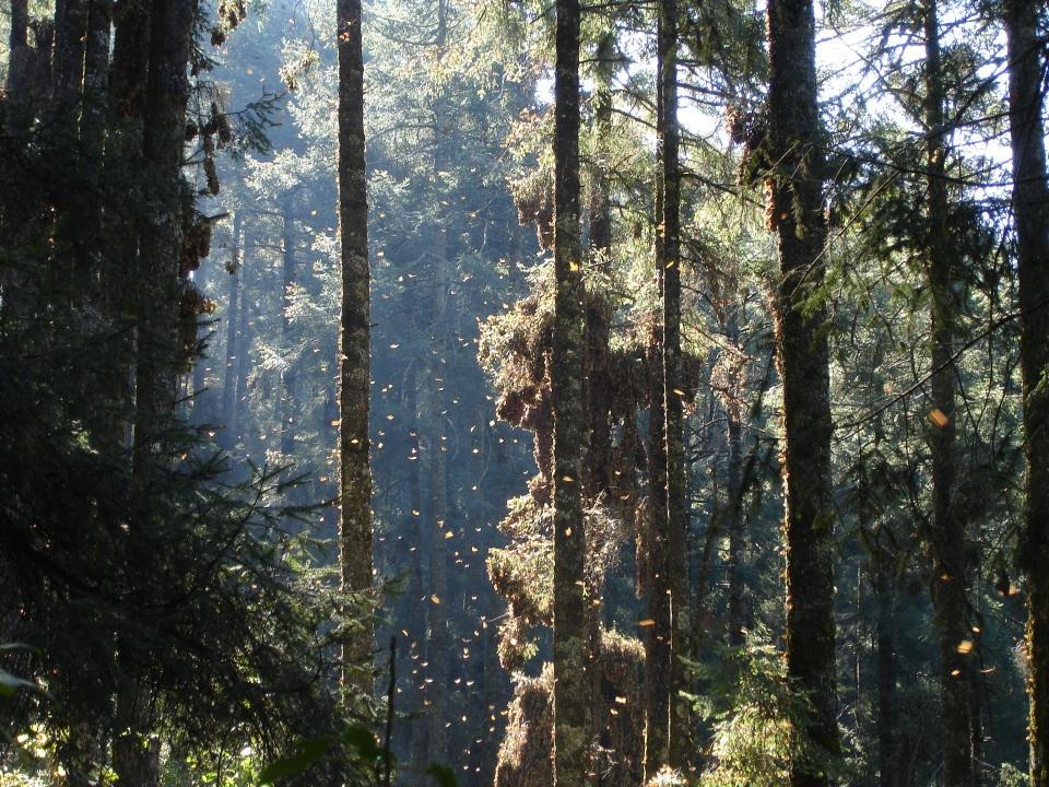 Sacred Fir Abies religiosa forest with Monarch Butterflies Danaus plexippus, Chincua Monarch Sanctuary, Angangueo, Michoacán, Mexico