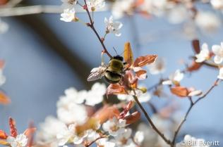 Bee on Plum Tree