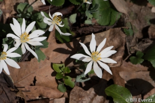 Bloodroot - a native Georgia plant