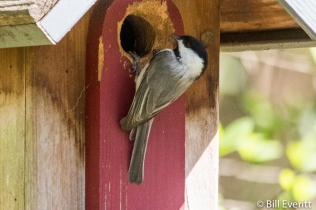 Carolina Chickadee on house
