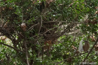 Shrubbery provides nesting site