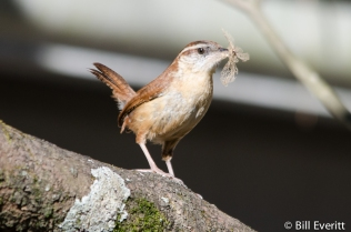 Carolina Wren with nesting material