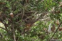 Carolina Wrens Nesting