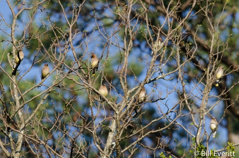 Early Flock of Cedar Waxwings