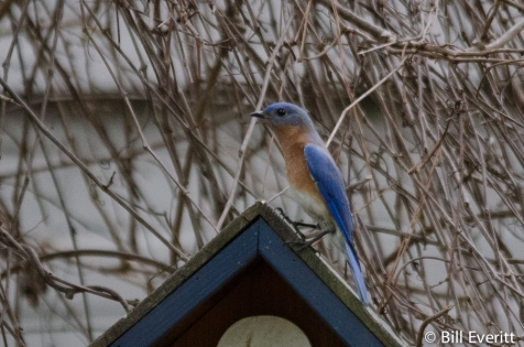 Male Eastern Bluebird on a bird house candidate
