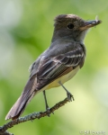 Great Crested Flycatcher with a meal