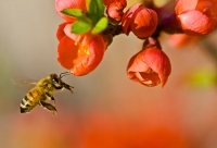 Honeybee Pollination - photo: Louise Docker