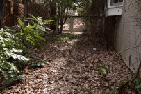 We've left leaves on the path down the side of the yard. Brown Thrashers and Towhees love the grubs they find there.