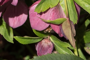 Pollinator in a Lenten Rose