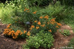 Tuberosa Milkweed for Monarchs