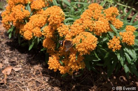 Butterfly Milkweed (Asclepias tuberosa) in bloom