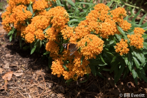 Butterfly Milkweed (Asclepias tuberosa) in bloom