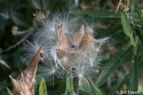 Butterfly Milkweed (Asclepias tuberosa) seed pods