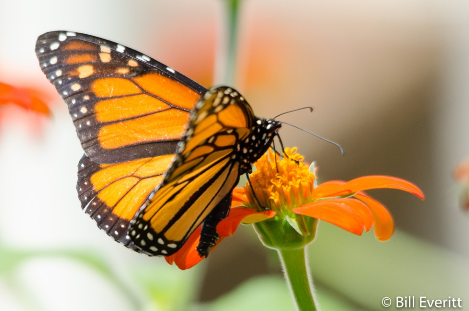 Monarch Butterfly at State Botanical Garden - August, 2014