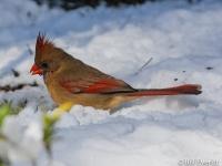 Northern Cardinal (female) - Cardinalis cardinalis Atlanta, GA - Peachtree Park - February, 2010