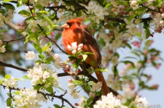 Northern Cardinal in a Crabapple tree