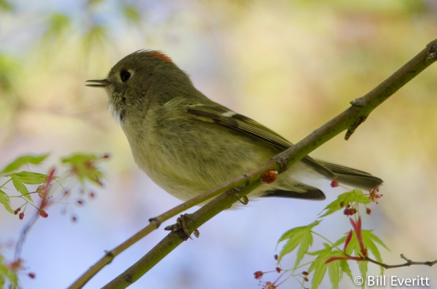Ruby-crowned Kinglet in a Japanese Maple. Ladybug on the tree limb.