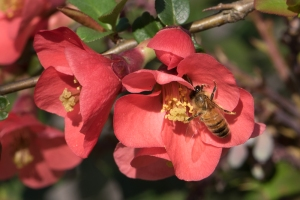 Honey Bee on Quince