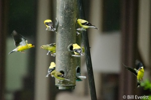 American Goldfinches at bird feeders