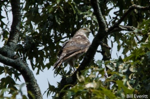Cooper's Hawk - Accipiter cooperii Peachtree Park - July 27, 2015