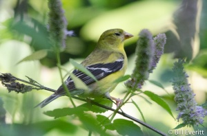 Female Goldfinch on Agastache