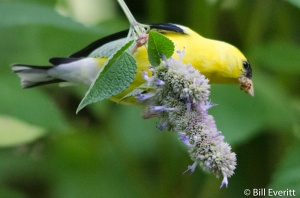 Male Goldfinch on Agastache