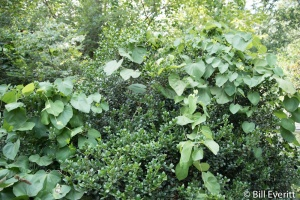 Dutchman's Pipe - Aristolochia californica