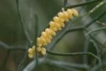 Ladybug Eggs