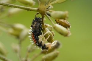 Ladybugs and Ladybug Larva eat aphids