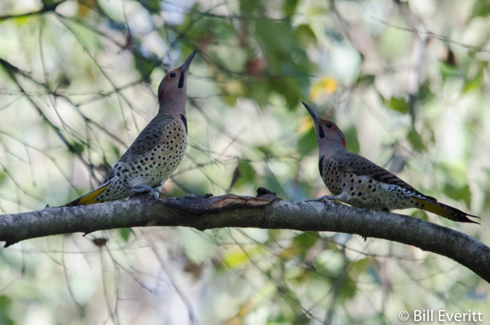 Two Northern Flickers 'fencing'