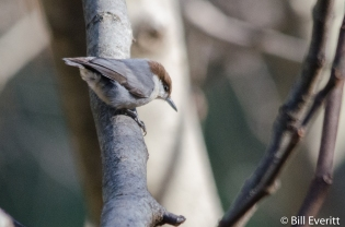 Brown-headed Nuthatch - Sitta pusilla