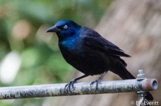 Common Grackle - Quiscalus quiscula