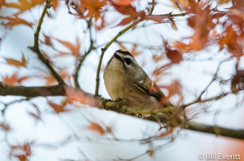 Golden-crowned Kinglet - Regulus satrapa Atlanta, GA - Peachtree Park - December 6, 2015