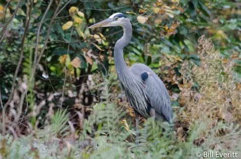 Great Blue Heron - Ardea herodias Atlanta, GA - Peachtree Park - December 1, 2015