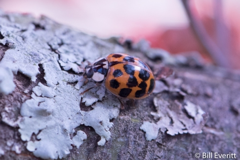 Ladybug on Japanese Maple