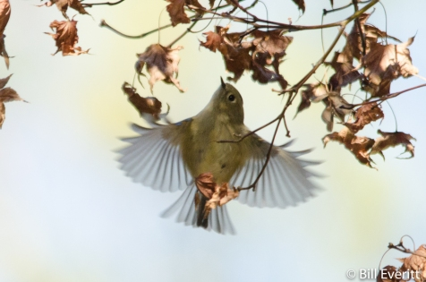 Ruby-crowned Kinglet - Regulus calendula Peachtree Park, Atlanta, GA - December, 2015