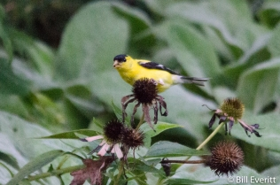 American Goldfinch on Cone Flower