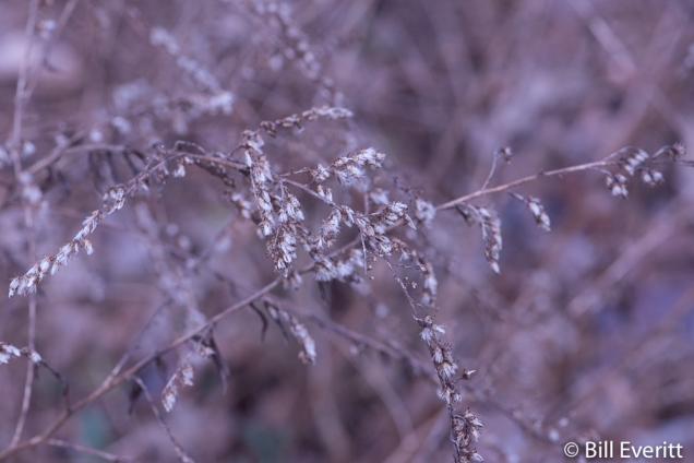 Goldenrod seedheads