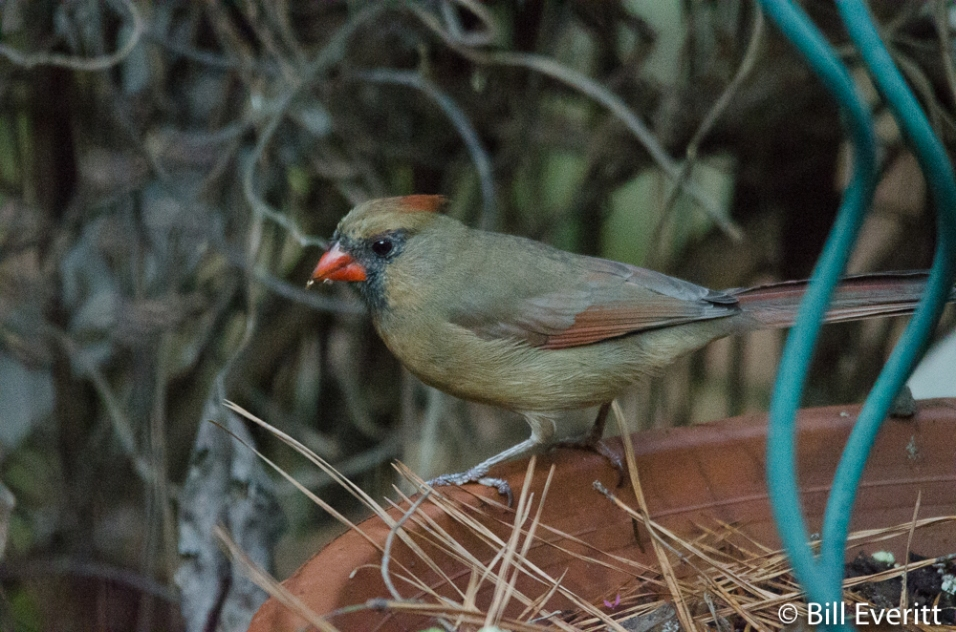 Northern Cardinal foraging in a pot