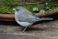 Dark-eyed Junco - Junco hyemalis Peachtree Park, Atlanta, GA - January 3, 2016