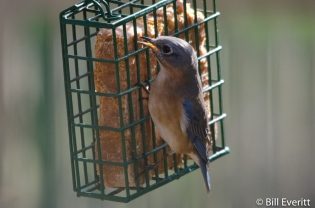 Eastern Bluebird - Sialia sialis Peachtree Park, Atlanta GA - January 16, 2016
