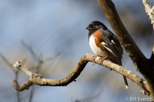 Eastern Towhee - Pipilo erythrophthalmus Peachtree Park, Atlanta GA - January 30, 2016