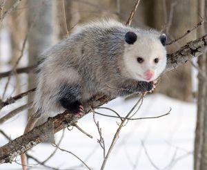 Opossum-CindyPope