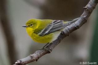 Pine Warbler - Setophaga pinus Peachtree Park, Atlanta, GA - January, 2016