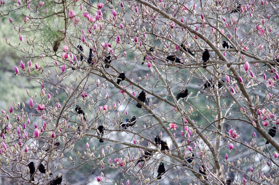 Red-winged Blackbirds in a Saucer Magnolia