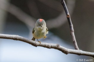 Ruby-crowned Kinglet - Regulus calendula Peachtree Park, Atlanta, GA - January, 2016